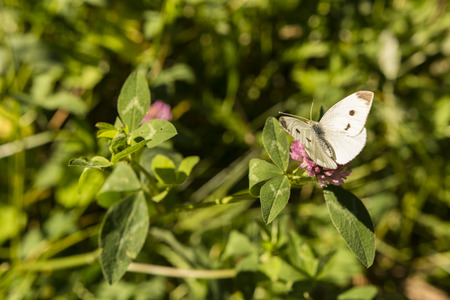 sunshine insect: Cabbage white butterfly on a flower. Stock Photo