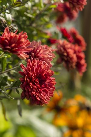Red chrysanthemum flower.