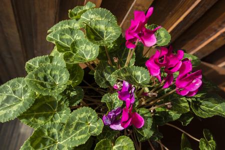 annealed: Violet cyclamen flowers.