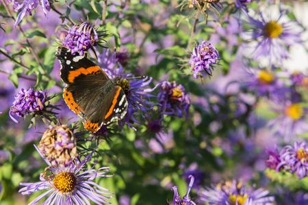 sunshine insect: Vanessa Atalanta butterfly sitting on a flower purple daisy. Stock Photo