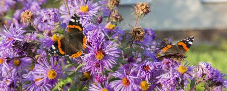 jardines con flores: Vanessa Atalanta mariposa sentado en una margarita flor púrpura.