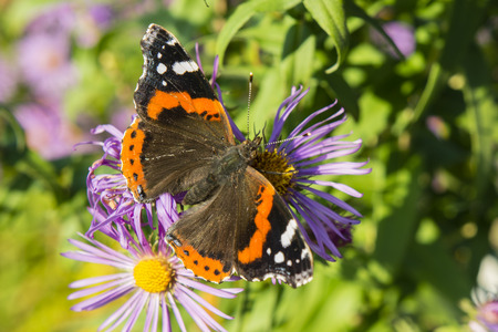 Vanessa Atalanta butterfly sitting on a flower purple daisy. Stock Photo