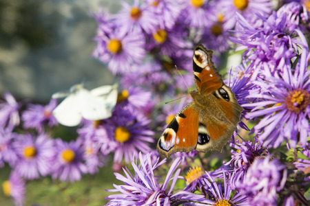 Butterfly Peacock eye on flowers purple daisies. Stock Photo