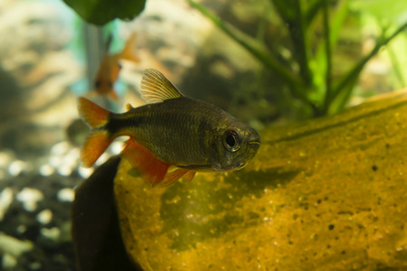 freshwater aquarium plants: Aquarium fish tetra diamond.