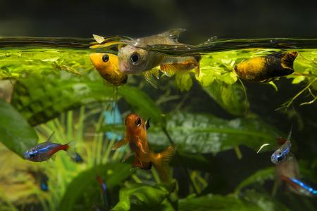 Aquarium fish feeding near the surface. Stock Photo