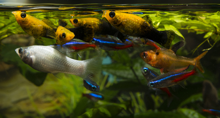 freshwater aquarium plants: Aquarium fish feeding near the surface. Stock Photo