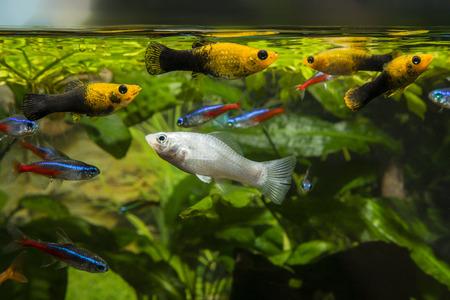 Aquariumvissen die dichtbij de oppervlakte voeden. Stockfoto