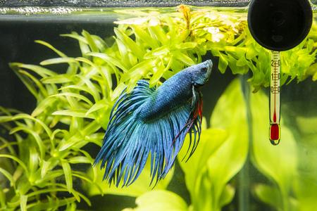 Fish Warrior blauw en thermometer. Stockfoto