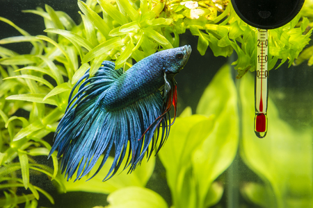 freshwater aquarium plants: Fish Warrior blue and thermometer.