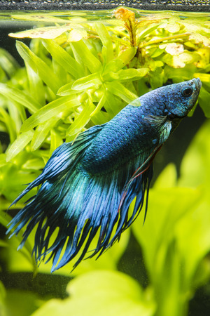 freshwater aquarium plants: Fish Warrior blue.