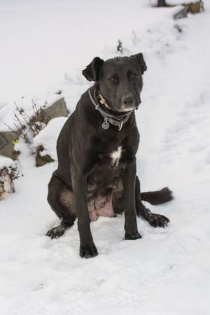 teats: Sitting lactating female dog in the snow. Stock Photo