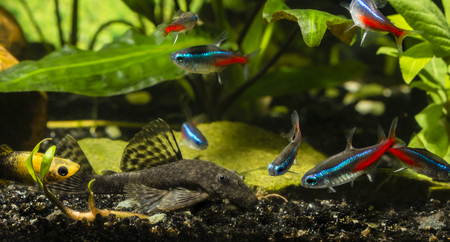 Ancistrus and neon tetra.
