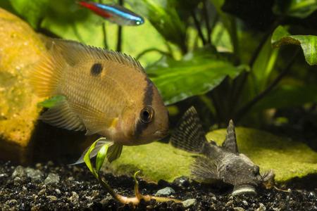 Fish Akara brown and Ancistrus. Stock Photo