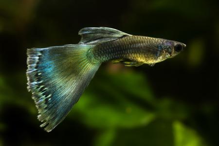 Peacock fish in an aquarium. Stock Photo