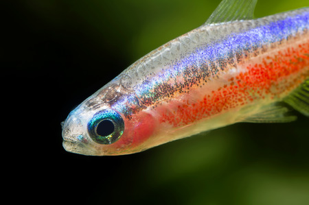 fish husbandry: Detail of the head and body parts neon red.