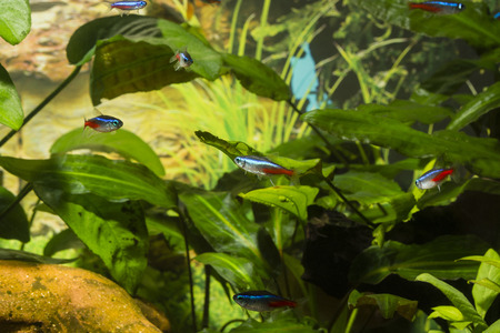 Neon tetra in aquarium plant in the background. Stock Photo