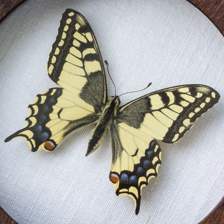 machaon: Papilio machaon, Swallowtail butterfly