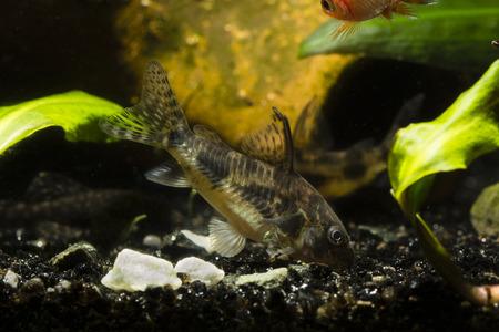 Corydoras paleatus, demersal fish. Stock Photo