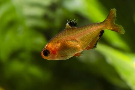 hyphessobrycon: Hyphessobrycon eques, tetra bloody.