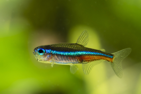 tetra: Neon Tetra blue freshwater fish.
