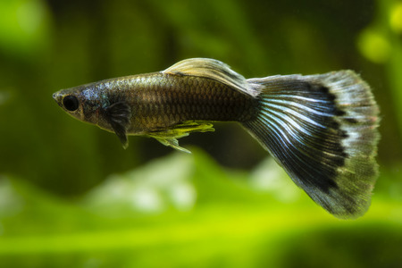 poecilia: Poecilia reticulata guppy. Stock Photo