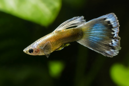 Poecilia reticulata guppy. Stock Photo