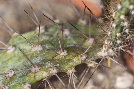 spines: Cactus with soft spines. Stock Photo