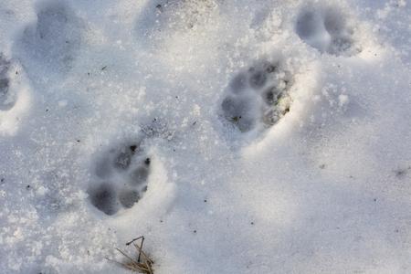 huellas de perro: Dog footprints in the snow. Foto de archivo