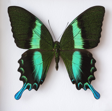 Volcanic black swallowtail butterfly with greenish stripe. Stock Photo