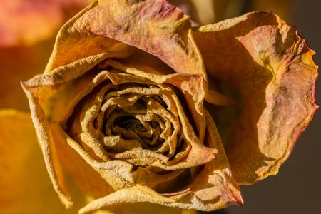 Dried rose flower in orange.