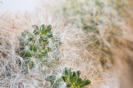 Cactus hairy.