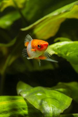 koi: Livebearer Swordtail orange white fish in an aquarium. Stock Photo