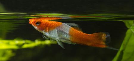 aquarium hobby: Livebearer Swordtail fish orange white at the surface. Stock Photo