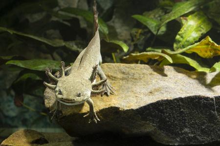aquarium hobby: Axolotl unturned.