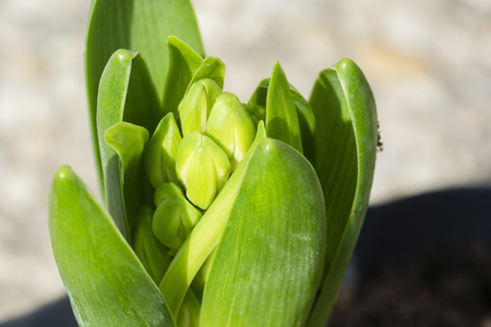 Hyacinth flower bud and green leaves. Stock Photo