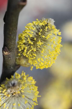 Pollen-laden flowers sallow.