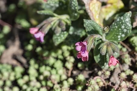 Pink flowers in the alpine garden.