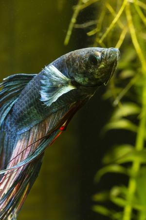 Fish fighter blue swimming in an aquarium.