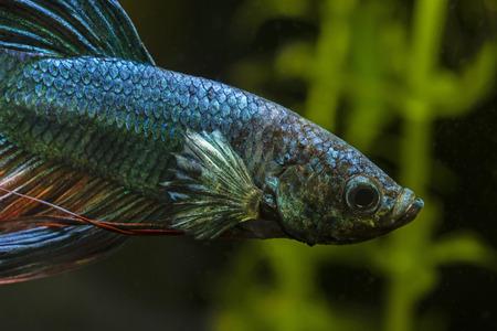 aquarium hobby: Fish fighter blue swimming in an aquarium.