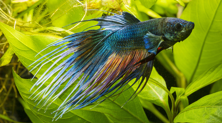 aquarium hobby: Blue fish swimming fighter with leaves of plants in the background. Stock Photo