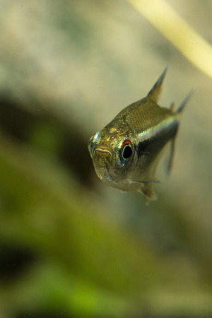 Aquarium fish Black Neon Tetra.