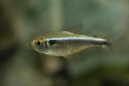 tetra: Aquarium fish Black Neon Tetra.
