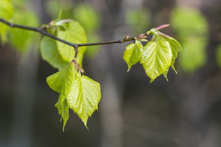 tilia cordata: Young linden leaves in spring.