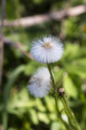 Tussilago farfara - The seeds of the cowhide are fuzzy.
