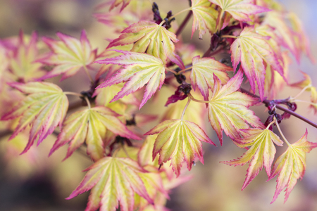 Yellow leaves of maple with pink hem.