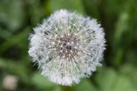 Open flower of dandelions with seeds.