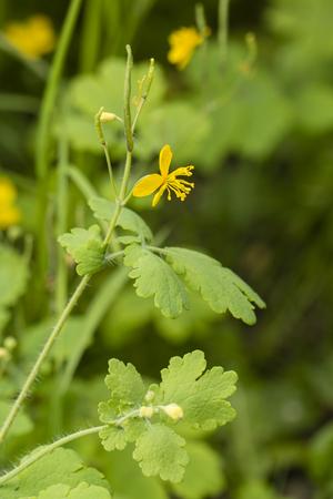 Flor y hojas del faisán - Celandine.