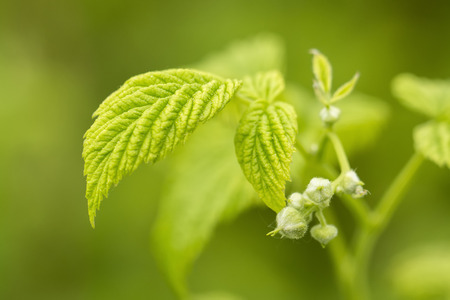 Pump of raspberry bloom with green leaf.