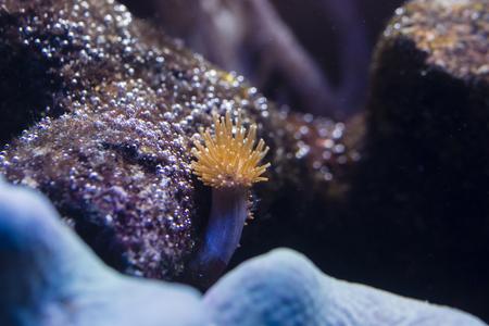 Small orange anemone under water. Stock Photo