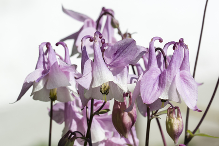pink columbine: Aquilegia caerulea - Pink columbine flowers in nature. Stock Photo